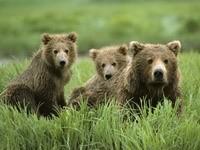 Медведица с медвежатами в траве