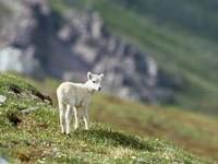 Маленькая белая овца на холмах