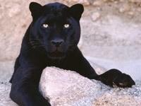 Пантера лежит на камнях