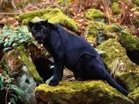 Злая пантера на камнях
