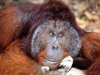 Задумавшаяся обезьяна