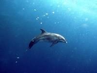 Дельфин, плавающий в океане