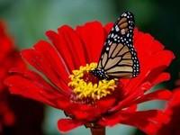 Бабочка на красном цветке