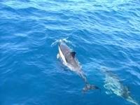 Плаванье дельфинов