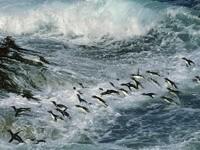 Стая пингвинов в волнах