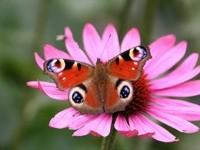 Бабочка на розовой ромашке