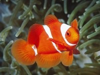 Красно-белая рыбка