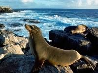 Морские котики на камнях