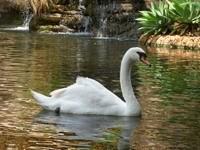 Белый лебедь в озере