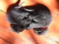 Двое черных котят