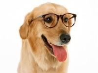 Умная собака в очках