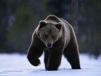 Черный медведь, идущий по снегу
