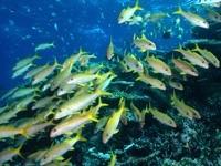 Стаи рыб над водорослями