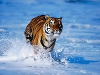 Бег тигра в воде