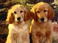 Двое щенков