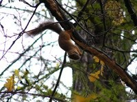 Белка на ветке грызет орешек