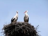 Двое аистов в гнезде