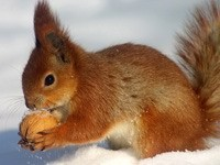 Белка на снегу с грецким орехом