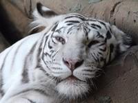 Белый тигр лежит на деревьях