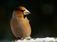 Светло-коричневая птица на снегу