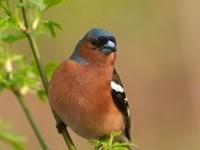 Сине-рыжая птица на ветке