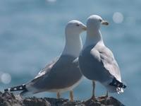 Две чайки на камне