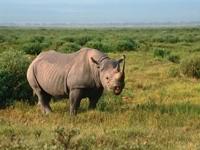 Носорог в степи