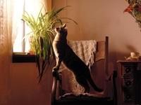 Кот на стуле, выглядывает в окно