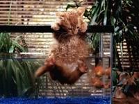 Котенок в аквариуме с рыбками