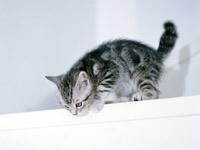 Серый котенок готовиться к прыжку