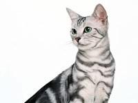 Короткошерстная американская кошка