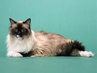 Персидский кот отдыхает