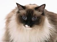 Мордочка персидского кота
