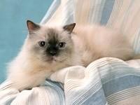 Белый кот с черной мордашкой