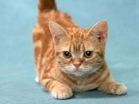 Рыжий котенок перед прыжком