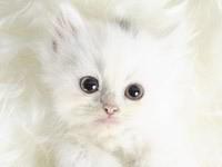 Белый, пушистый котенок