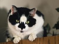 Пятнистая черно-белая морда кота