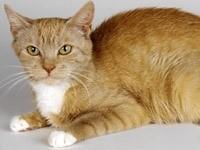 Рыжий кот с белым передничком