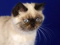 Морда породистого кота