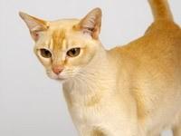 Редкая цейлонская кошка