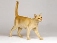 Кошка цейлонская