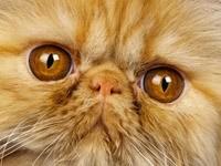 Большие глаза рыжего кота