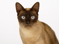 Морда сиамский кошки