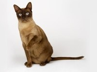 Сиамская кошка подняла лапку