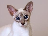 Кошка сфинкс с шерстью