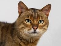 Кошка внимательно смотрит