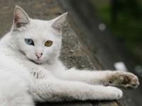 Белый кот с разным цветом глаз