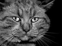 Мордашка большого серого кота