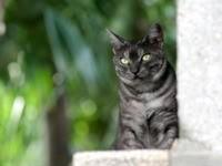 Серый кот выглядывает из-за угла