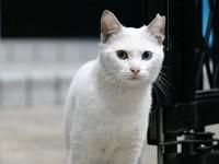 Белый кот у ворот